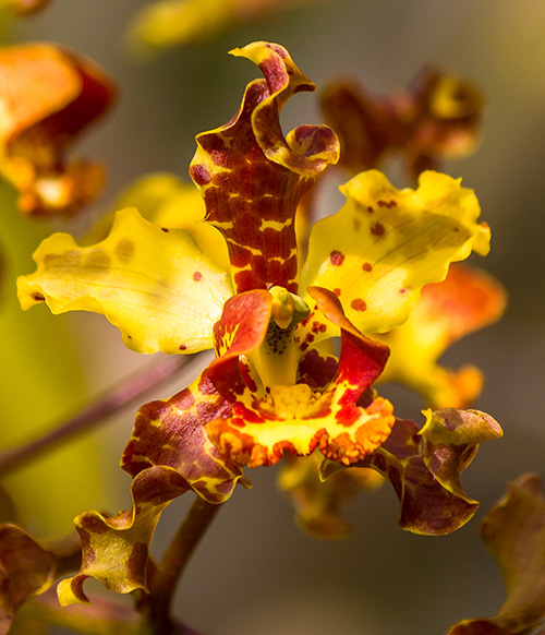 Cigar Orchid (Cyrtopodium punctatum) ©James T. Johnson