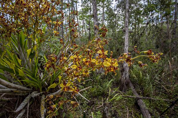 Cigar Orchid Cyrtopodium punctatum